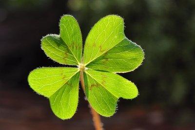 Grünes vierblättriges Kleeblatt